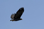 Adult Common Black-Hawk in flight in late October. 