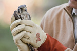 John Herrold, President and Park Administrator of the Riverside Park Fund, holds a female American Kestrel just prior to her release in Riverside Park on November 11, 2010.