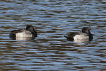 Male Lesser Scaup resting on the Meer in mid November. Central Park. New York, NY.