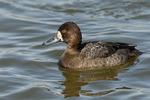 Female Lesser Scaup in early March.