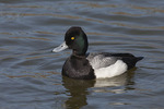 Male Lesser Scaup in early March.