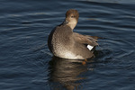 Male Gadwall (Mareca strepera) displaying in mid November on the Reservoir. Central Park. New York, NY.