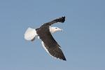Great Black-backed Gull in flight in mid November.