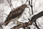Immature Red-tailed Hawk on a snow-covered branch in late December.