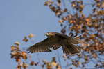 Immature Red-tailed Hawk in flight in mid November.