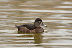 First cycle male Ring-necked Duck in early March.