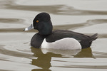 Adult male Ring-necked Duck in early March.