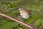 Veery perched in Pokeweed in mid September on fall migration.