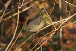 First-fall Orange-crowned Warbler in late November on fall migration.