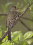 Eastern Wood-Pewee on spring migration in late May.