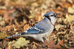 Young Blue Jay swallowing a Pin Oak (Quercus palustris) acorn. Early December.
