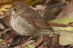 Hermit Thrush in early December.