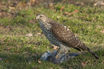Immature female Cooper's Hawk stands on a Rock Pigeon she has captured.