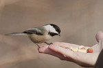 Black-capped Chickadee fed by hand in mid December.