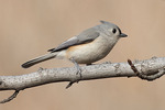 Tufted Titmouse in mid December.