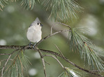 Tufted Titmouse in mid January.