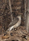 Immature Sharp-shinned Hawk in mid December. North Woods. Central Park. New York, NY.