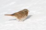 Fox Sparrow in mid January.