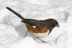 Male Eastern Towhee in mid January. Maintenance Field, Central Park. New York, NY.