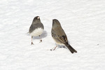 Dark-eyed Juncos, male at left, female at right, in an aggressive interaction while foraging for seeds on the ground.