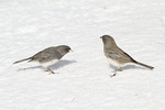 Dark-eyed Juncos, male at left, female at right, in an aggressive interaction while foraging for seeds on the ground. The male's posture indicates appeasement.