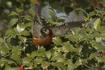 Male American Robin feeding in American Holly (Ilex opaca) in late January.