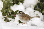 White-throated Sparrow foraging below an American Holly (Ilex opaca) in late January.