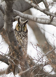 Long-eared Owl perched in a beech in mid February.