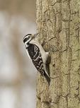 Female Hairy Woodpecker in mid-February.