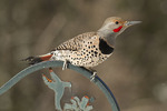 Male Northern Flicker (Colaptes auratus cafer), Red-shafted subspecies, in late February.