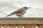 Male Northern Flicker, Red-shafted (Colaptes auratus cafer), Yellow-shafted (Colaptes auratus auratus) intergrade in late February. The bird shows both the red malar of a Red-shafted Flicker and the red chevron on the nape of a Yellow-shafted Flicker.