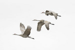 Sandhill Cranes in flight in late February.