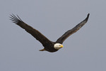 Bald Eagle in flight in early March.