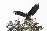 Bald Eagle landing, late February.