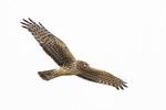Female Northern Harrier in flight in late February.