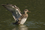 A female Gadwall (Mareca strepera) flaps her wings after preening, early September.