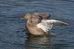 Female Mallard shakes her wings after bathing, mid-January.
