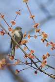 Eastern Phoebe foraging in a red maple in mid-March on spring migration.