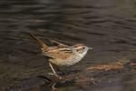 Swamp Sparrow in late March on spring migration.