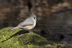 Tufted Titmouse in late March.