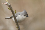 Tufted Titmouse in early April.