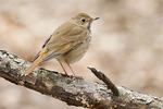 Hermit Thrush in early April on spring migration.