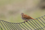 Fox Sparrow perched on a fence in mid-April on spring migration.