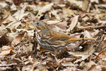 Fox Sparrow foraging in leaf litter in early April on spring migration.