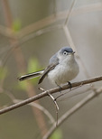 Male Blue-gray Gnatcatcher in mid-April on spring migration.