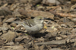 Female Pine Warbler in mid-April on spring migration.