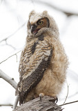 Great Horned Owl fledgling in mid-April.