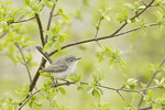 Female Blue-gray Gnatcatcher in late April on spring migration.