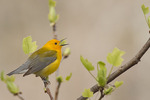 Singing male Prothonotary Warbler in a tuliptree (Liriodendron tulipifera) in mid-April on spring migration.