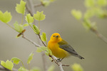 Male Prothonotary Warbler in a tuliptree (Liriodendron tulipifera) in mid-April on spring migration.